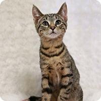 Adopt A Pet :: Mickey Male Kitten - Knoxville, TN