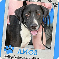 Adopt A Pet :: AMOS - Lincoln, NE