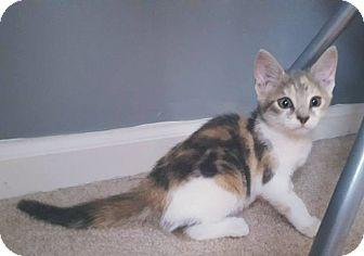 Domestic Shorthair Kitten for adoption in Lexington, Kentucky - Aleida
