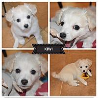 Adopt A Pet :: Kiwi Adoption Pending!! - Bakersfield, CA