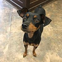 Adopt A Pet :: Bella - Cambridge, MD
