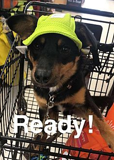 Miniature Pinscher/Terrier (Unknown Type, Small) Mix Dog for adoption in Southbury, Connecticut - Max