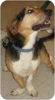 Basset Hound Mix Dog for adoption in Whitestown, Indiana - Ozzy