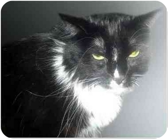 Domestic Longhair Cat for adoption in San Clemente, California - SALLY