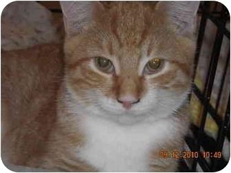 Domestic Shorthair Cat for adoption in Riverside, Rhode Island - Elton