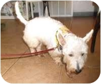 Westie, West Highland White Terrier Dog for adoption in Crystal River, Florida - Deja