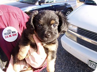 Chihuahua/Poodle (Toy or Tea Cup) Mix Puppy for adoption in Cedaredge, Colorado - Andy...adopted