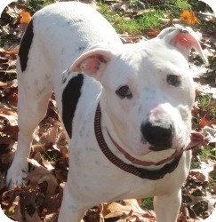 Dalmatian/American Pit Bull Terrier Mix Dog for adoption in Bloomfield, Connecticut - Gap Kid
