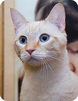 Siamese Cat for adoption in Irvine, California - Eli
