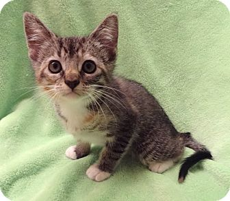 Domestic Shorthair Kitten for adoption in Bentonville, Arkansas - Boots