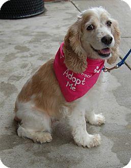 Cocker Spaniel Mix Dog for adoption in Northville, Michigan - Maggie - Pending