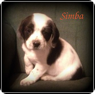 Cocker Spaniel/Shih Tzu Mix Puppy for adoption in Denver, North Carolina - Simba