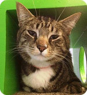 Hemingway/Polydactyl Cat for adoption in Fruit Heights, Utah - Lucky