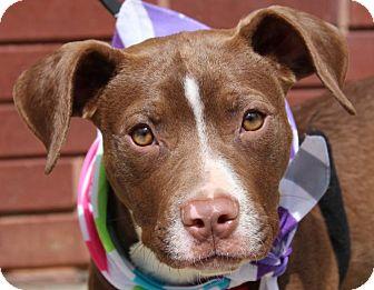 American Staffordshire Terrier/Labrador Retriever Mix Puppy for adoption in Atlanta, Georgia - Bouquet