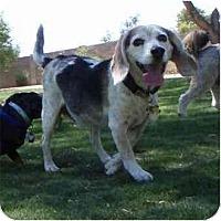 Adopt A Pet :: Bob the Builder - Phoenix, AZ