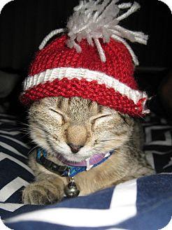 Domestic Shorthair Cat for adoption in Los Angeles, California - Nya Nya