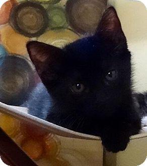 Domestic Shorthair Kitten for adoption in Flower Mound, Texas - Joy