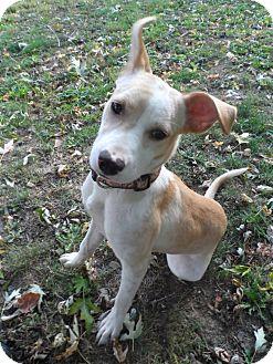 Labrador Retriever Mix Dog for adoption in Williston, Vermont - Hillary