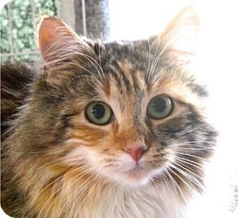 Maine Coon Kitten for adoption in Davis, California - Callie