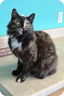 Domestic Mediumhair Cat for adoption in Brookings, South Dakota - Angel