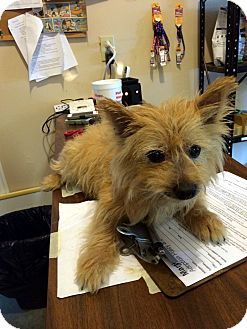 Cairn Terrier Mix Dog for adoption in Loogootee, Indiana - Lucy III