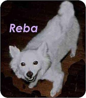 American Eskimo Dog Dog for adoption in Downey, California - Reba