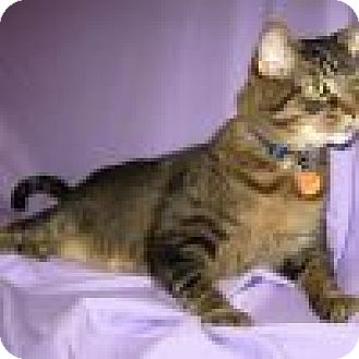 Domestic Shorthair Cat for adoption in Powell, Ohio - Cody