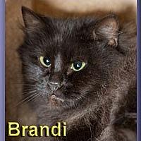 Domestic Longhair Cat for adoption in Aldie, Virginia - Brandi