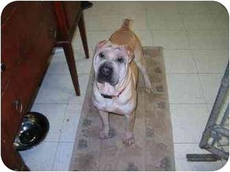 Shar Pei Dog for adoption in Houston, Texas - Morgan