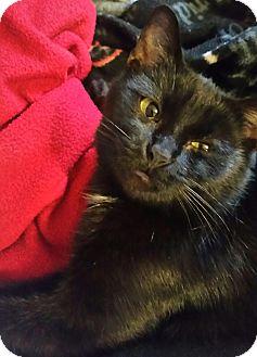 Domestic Shorthair Cat for adoption in Statesville, North Carolina - Vicki