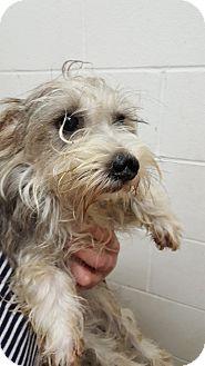 Schnauzer (Miniature) Dog for adoption in Paris, Illinois - Sissy