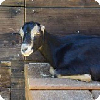 Goat for adoption in Maple Valley, Washington - Gobi & Nash