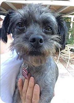 Shih Tzu/Poodle (Miniature) Mix Dog for adoption in Encino, California - Brenda