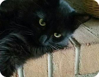 Maine Coon Kitten for adoption in Columbus, Ohio - Hunter