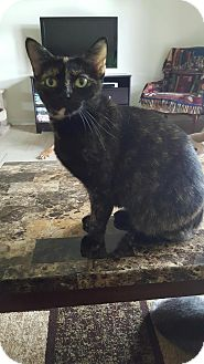 American Bobtail Cat for adoption in Orland Park, Illinois - Micah