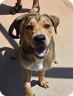 Labrador Retriever/Hound (Unknown Type) Mix Dog for adoption in Allentown, New Jersey - Jerry