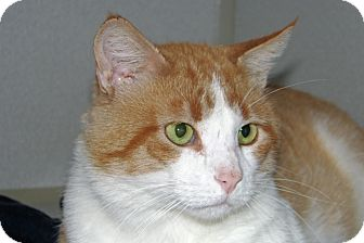 Domestic Shorthair Cat for adoption in Ruidoso, New Mexico - Aiden