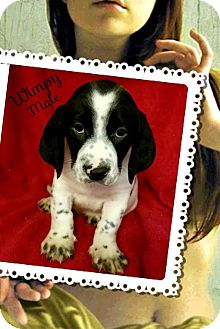 Basset Hound/Beagle Mix Puppy for adoption in East Hartford, Connecticut - Wimpy-pending adoption