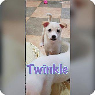 Spitz (Unknown Type, Medium)/Jindo Mix Puppy for adoption in Smithtown, New York - Twinkle