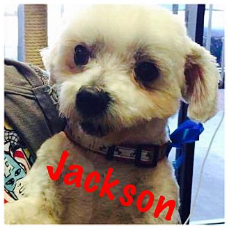 Maltese/Poodle (Miniature) Mix Dog for adoption in Thousand Oaks, California - Jackson