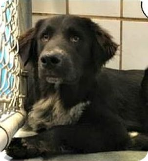 Border Collie Mix Dog for adoption in Portland, Oregon - Chevy
