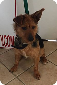 Terrier (Unknown Type, Small) Mix Dog for adoption in Middletown, New York - Casey