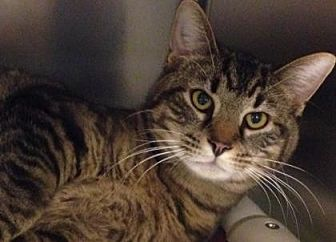 Domestic Shorthair/Domestic Shorthair Mix Cat for adoption in Anderson, Indiana - Brody
