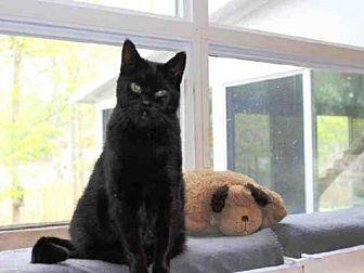 Domestic Mediumhair Cat for adoption in Hampton Bays, New York - PEPPER