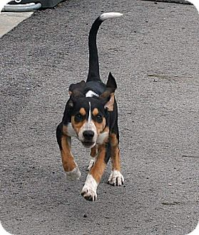Treeing Walker Coonhound/Beagle Mix Puppy for adoption in Beebe, Arkansas - LuLu