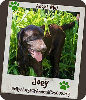 Labrador Retriever Dog for adoption in Lincoln, Nebraska - JOEY - MEDICAL HOLD
