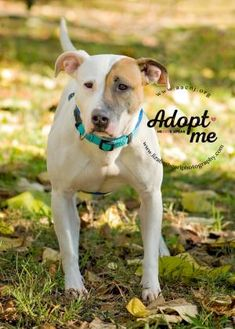 Shepherd (Unknown Type)/Boxer Mix Dog for adoption in Lindenwold, New Jersey - Athena