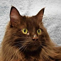 Domestic Mediumhair Cat for adoption in Fort Collins, Colorado - MARABOU
