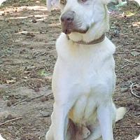 Adopt A Pet :: Levi - York, SC