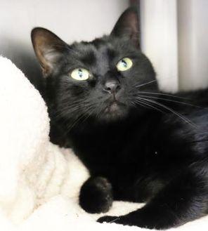 Domestic Shorthair/Domestic Shorthair Mix Cat for adoption in Ann Arbor, Michigan - Jet